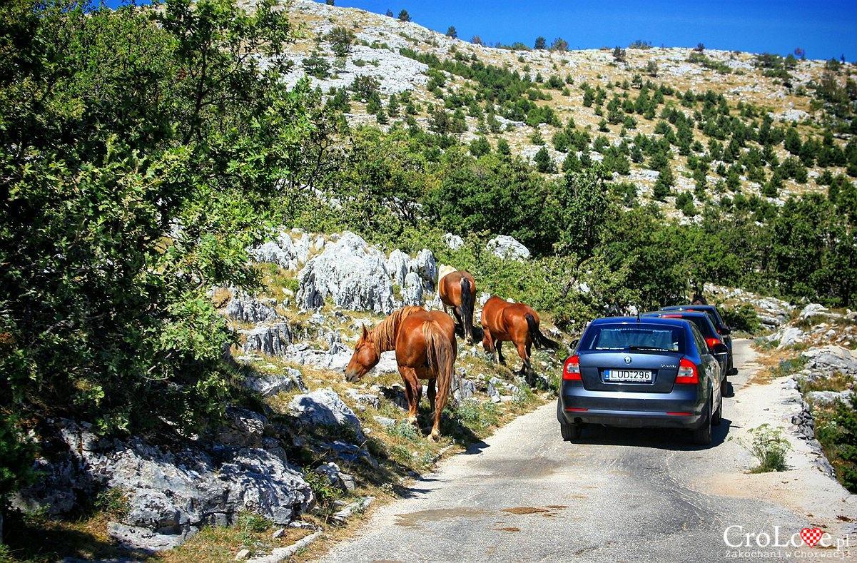 Konie w Parku Przyrodniczym Biokovo