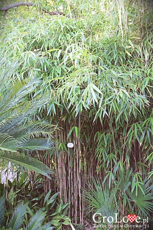 Bambus - Roślinność w Arboretum Trsteno