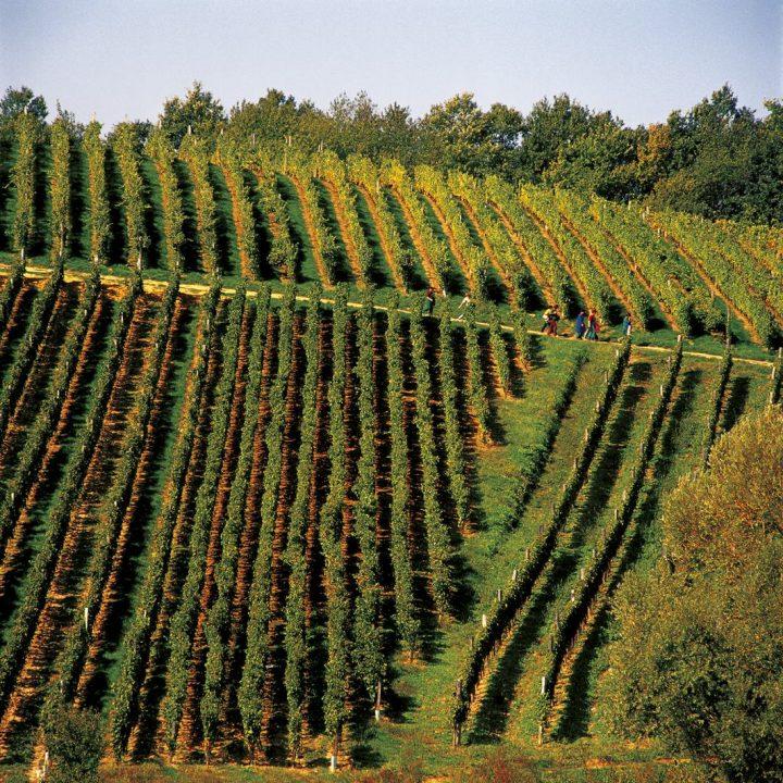 Winnice w Kutjevo
