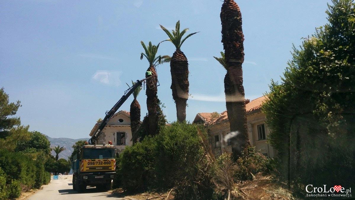 Tegoroczne wycinanie suchych liści palm w Kupari