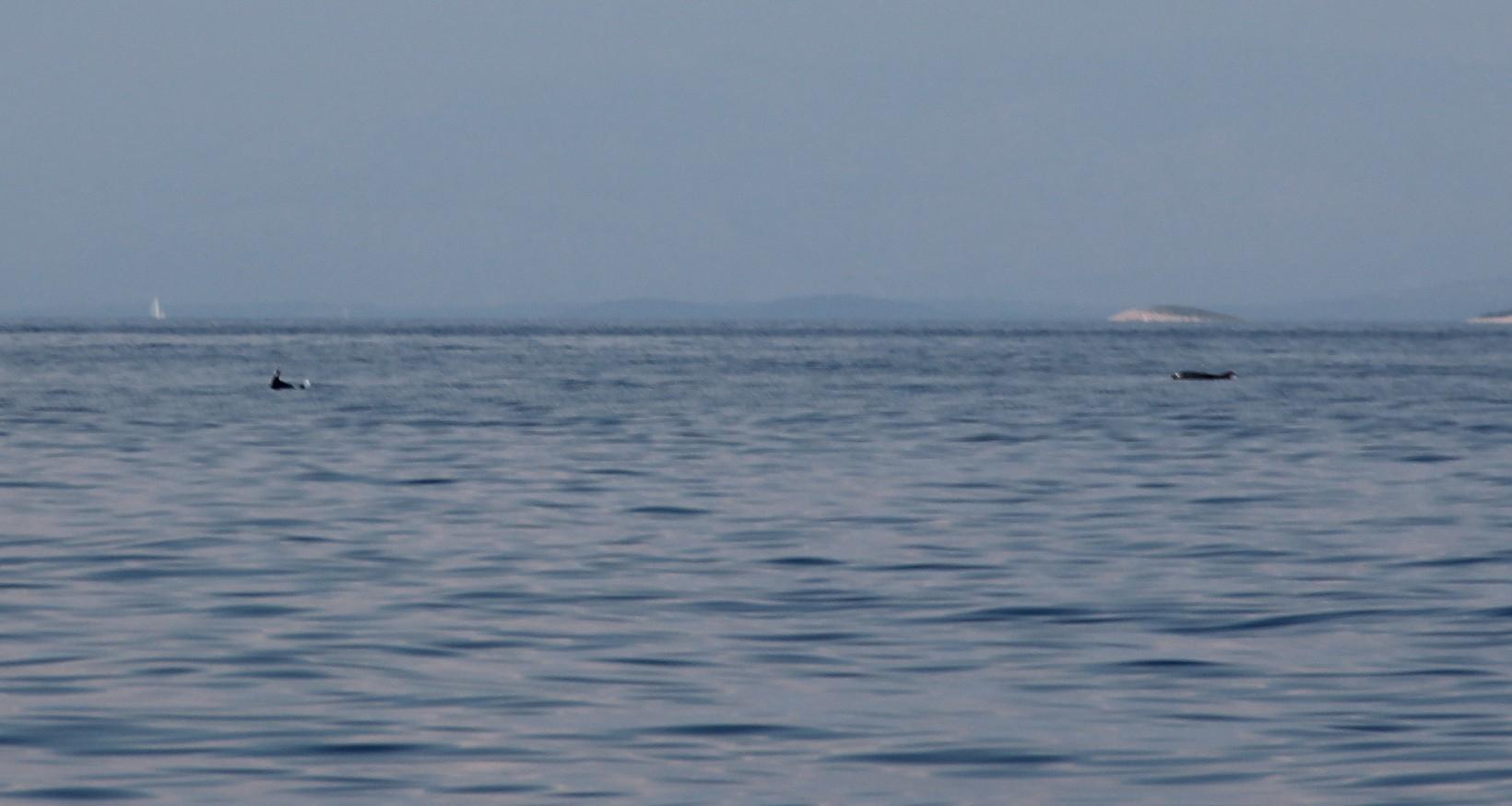 Delfiny w Chorwacji