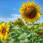 Slavonia, Baranja i Srijem – miejsca, które warto odwiedzić