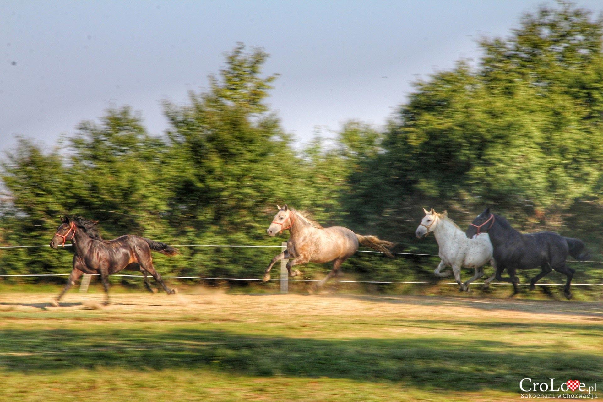 Stadnina i szkoła jeździecka w Đakovo