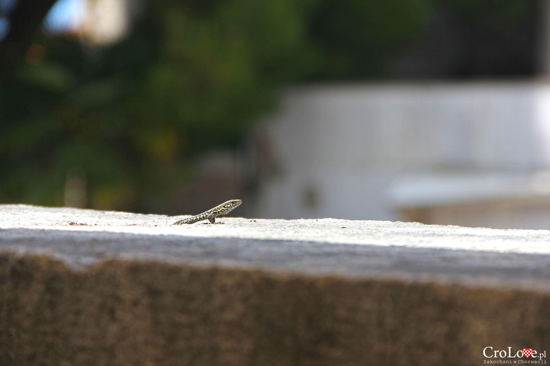 Jaszczurka w Poreču