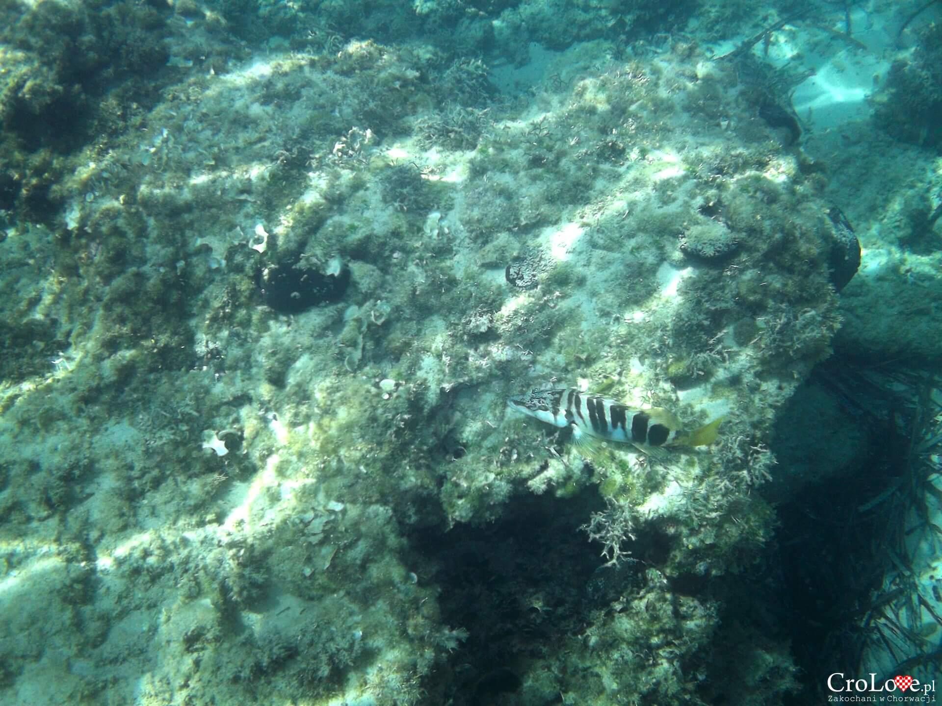 Ryby w Adriatyku