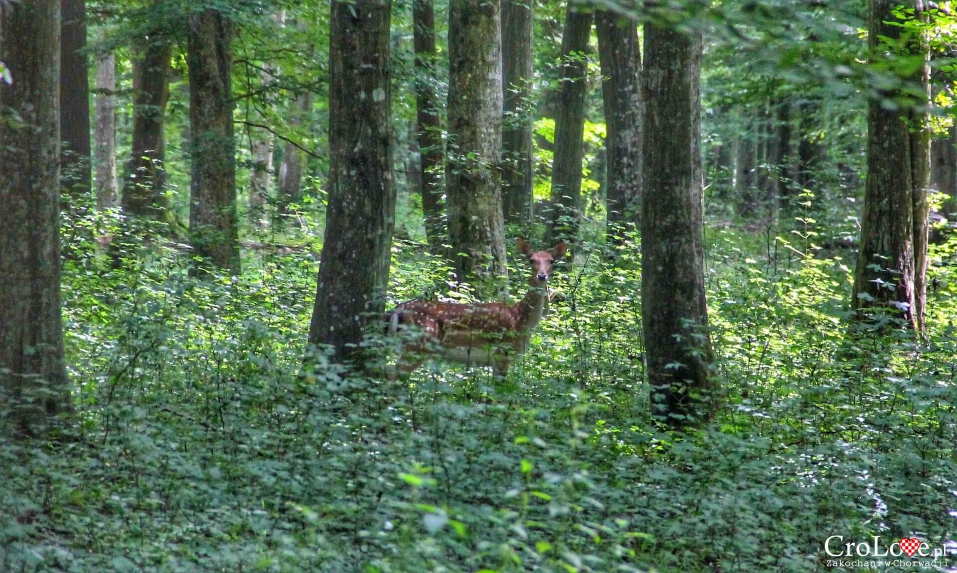 Sarna w lasach Slavonii