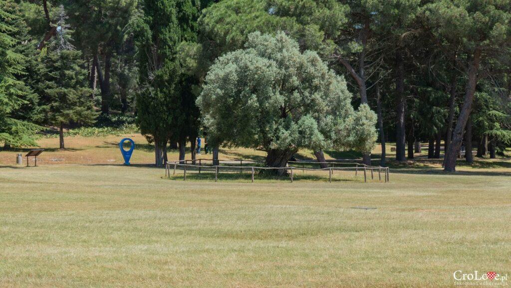 Drzewo oliwne w PN Brijuni