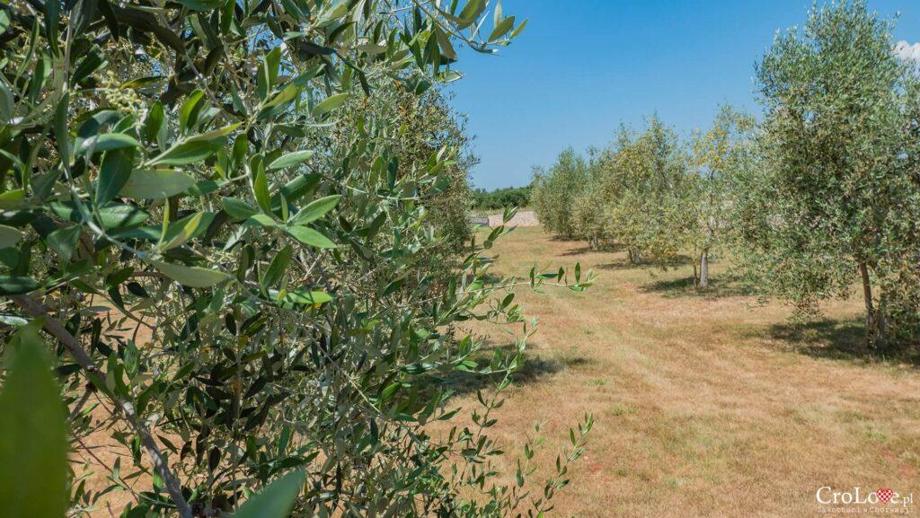 Młody gaj oliwny na Istrii